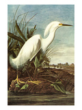Snowy Egret Art by John James Audubon