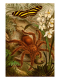 Tarantula - Bird Eating Spider Premium Giclee Print by F.W. Kuhnert