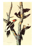 Ivory-Billed Woodpecker Prints by John James Audubon