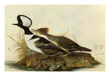 Hoodedmerganser Prints by John James Audubon