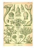 Ciliata Posters av Ernst Haeckel