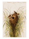 Nuttal's Lesser Marsh Wren Prints by John James Audubon