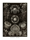 Funji Photo by Ernst Haeckel