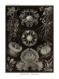 Funji Posters by Ernst Haeckel