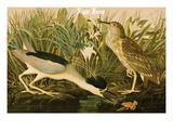 Night Heron Posters by John James Audubon