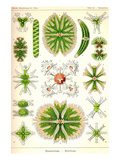Amoebas Posters av Ernst Haeckel