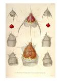 Dictyoceras Virchowii, Dictyopodium Trilobum Planscher av Ernst Haeckel