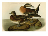 American Widgeon Prints by John James Audubon