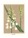 Hyacinth Print by Louis Van Houtte