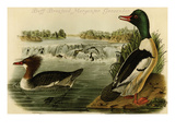 Buff-Breatsed Merganter Goosander Prints by John James Audubon