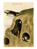 Bank Swallow Print by John James Audubon