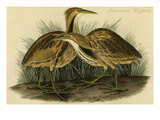 American Bittern Prints by John James Audubon