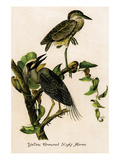 Yellow Crowned Night Heron Print by John James Audubon