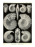 Ammonites Prints by Ernst Haeckel