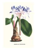 Amaryllis Hyacinthin Giclée-Premiumdruck von Louis Van Houtte
