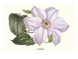 Clematis Prints by Louis Van Houtte