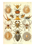 Spiders Print by Ernst Haeckel