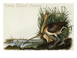 Long Billed Curlew Posters by John James Audubon