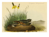 Nuttails Whipoorwill Posters by John James Audubon