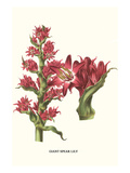 Giant Spear Lily Poster von Louis Van Houtte