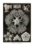 Brittle Stars Posters by Ernst Haeckel