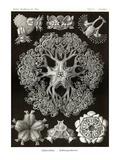 Brittle Stars Prints by Ernst Haeckel