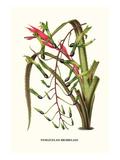 Venezuelan Bromeliad Giclée-Premiumdruck von Louis Van Houtte