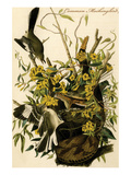 Common Mockingbird Posters by John James Audubon
