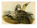 Common Gannet Photo by John James Audubon