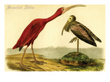 Scarlet Ibis Posters by John James Audubon