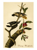 Downy Woodpecker Print by John James Audubon