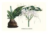 American Lilly Kunstdrucke von Louis Van Houtte