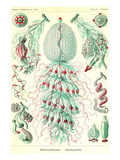 Siphoneae Hydrozoa Prints by Ernst Haeckel