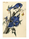 Blue Jay Art by John James Audubon