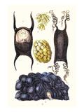 Eggs of Skate, Whelk, Dog Fish Prints by James Sowerby