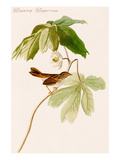 Swamp Sparrow Premium Giclee Print by John James Audubon