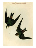 Violet Green Swallow Prints by John James Audubon