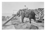Elephant Moves Huge Logs for Indian Master and Stack Them in Piles Art