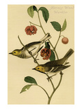 Hermit Wood Warbler Prints by John James Audubon