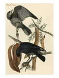 Fish Crow Prints by John James Audubon