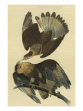 Cracara Eagle Prints by John James Audubon