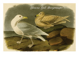 Glaucus Gull Burgomaster Poster by John James Audubon