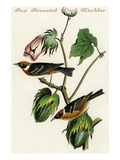 Bay Breasted Wood Warbler Poster by John James Audubon