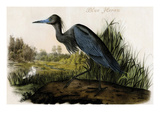Blue Heron Print by John James Audubon