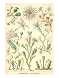 Campanariae Prints by Ernst Haeckel