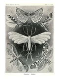 Moths -Tineida Prints by Ernst Haeckel
