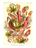 Pitcher Plants Posters av Ernst Haeckel