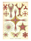 Discoidea Posters by Ernst Haeckel