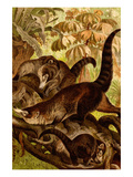 White-Nosed Coati Posters by F.W. Kuhnert