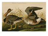 White Fronted Goose Art by John James Audubon